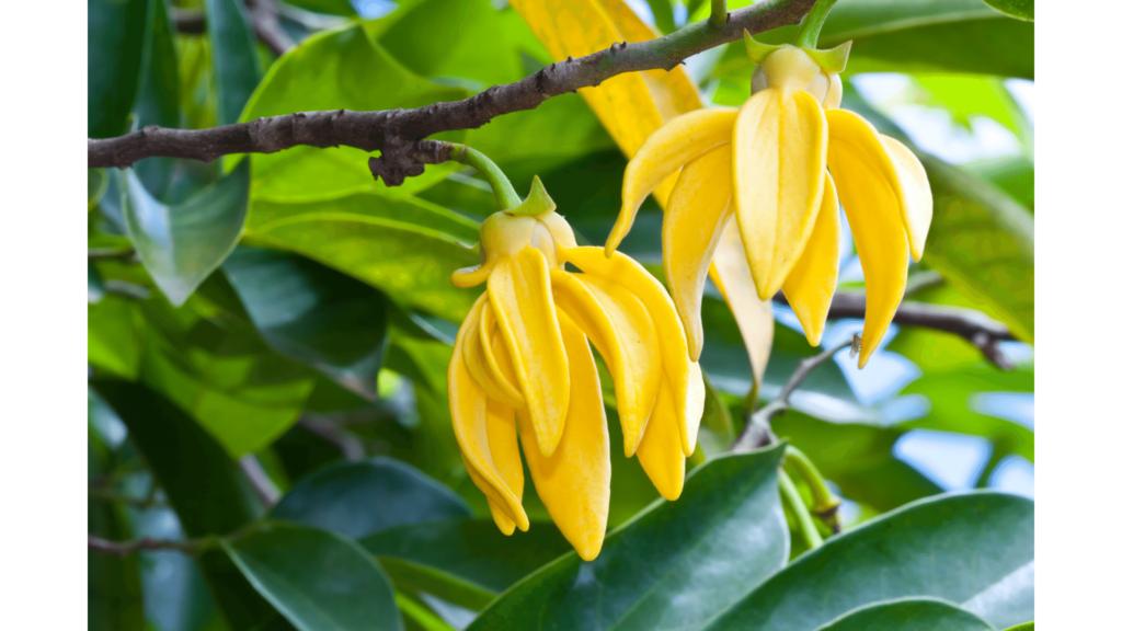 Beneficios del aceite esencial de Ylang Ylang